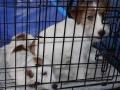wystawa psów w Lubinie (11)