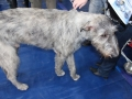 wystawa psów w Lubinie (35)