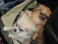 wystawa psów w Lubinie (4)