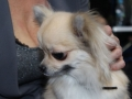 wystawa psów w Lubinie (6)