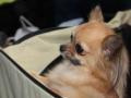 wystawa psów w Lubinie (7)