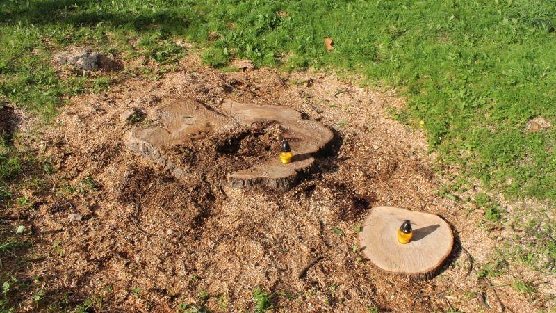 Wycięte drzewa przy Kopernika Lubin (11)