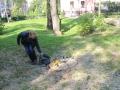 Wycięte drzewa przy Kopernika Lubin (8)