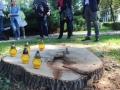 Wycięte drzewa przy Kopernika Lubin (7)