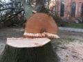 Reja wycinka drzew (4)