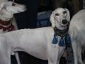 międzynarodowa wystawa psów (1)