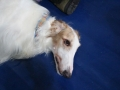 międzynarodowa wystawa psów (15)