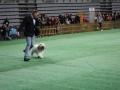 międzynarodowa wystawa psów (26)