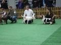 międzynarodowa wystawa psów (32)