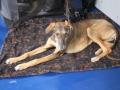 międzynarodowa wystawa psów (36)