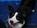 międzynarodowa wystawa psów (8)