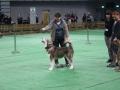 międzynarodowa wystawa psów (9)