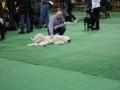 międzynarodowa wystawa psów (14)