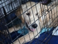 międzynarodowa wystawa psów (17)