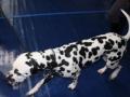 międzynarodowa wystawa psów (2)