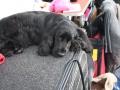 międzynarodowa wystawa psów (20)