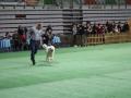 międzynarodowa wystawa psów (24)