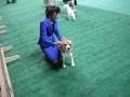międzynarodowa wystawa psów (30)