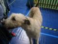 międzynarodowa wystawa psów (35)