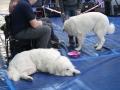 międzynarodowa wystawa psów (5)