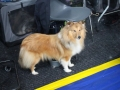 międzynarodowa wystawa psów (6)